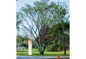 丛生朴树A